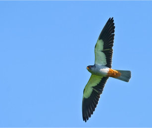 MALE AMUR FALCON