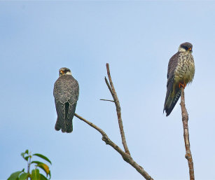 FEMALE AMUR FALCONS