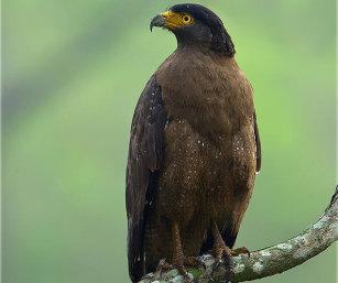 CRESTED SERPEANT EAGLE