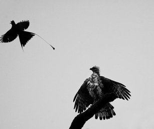 CRESTED SERPENT EAGLE MOBBED BY RACKET-TAILED DRONGO