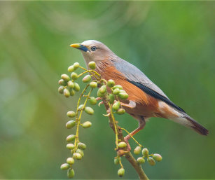 Chestnut-Tailed-Starling