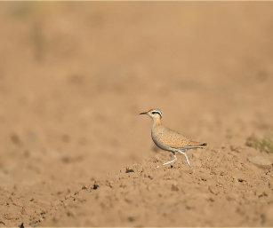 DESERT COURSER