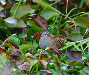 EASTERN WATER RAIL