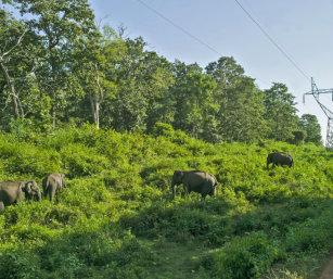 Elephants in powerline clearing