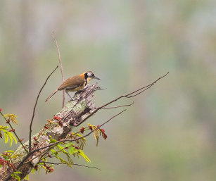 NECKLACED LAUGHING THRUSH
