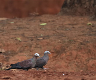 PALE-CAPPED PIGEON