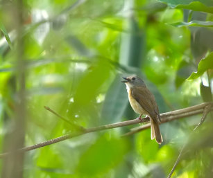 PALE-CHINNED FLYCATCHER
