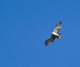 Rufous-bellied Hawk-eagle [juv]