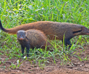 Stripe-necked Mongoose