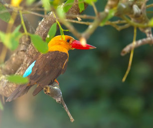 BROWN-WINGED KINGFISHER