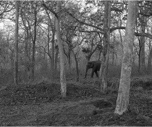 ELEPHANT, NAGARAHOLE