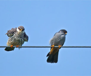 MALE (R) AND FEMALE AMUR FALCON