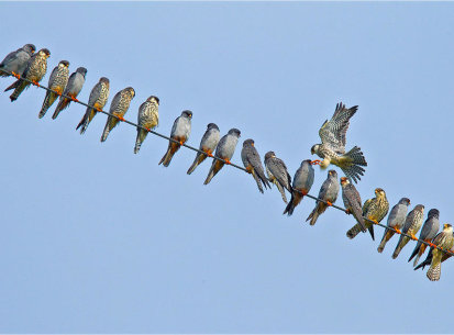 Amur Falcon Migration, Oct 2013