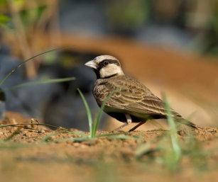 Ashy-crowned Finch Lark