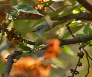 Ashy-throated warbler