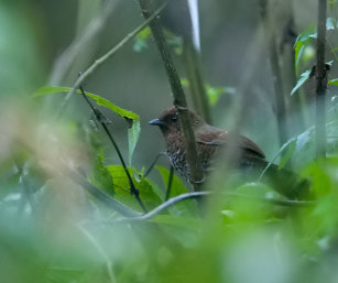 Brown-capped Laughing Thrush