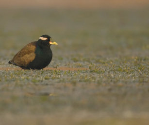 Black-winged jacana