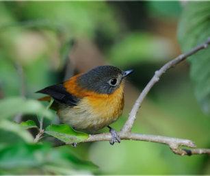 Black and Orange Flycatcher