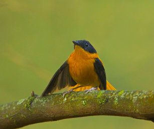 Black & Orange Flycatcher
