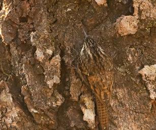 Bar-tailed Tree creeper