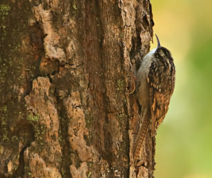 Bar-tailed Tree creeper