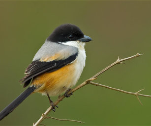 Black Headed Long Tailed Shrike