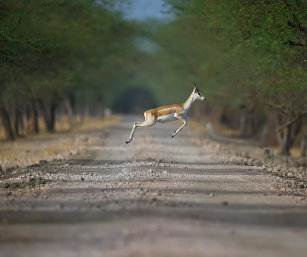 BLACKBUCK IN FLIGHT