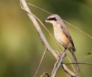 Brown Shrike SSP (Philippine Shrike)