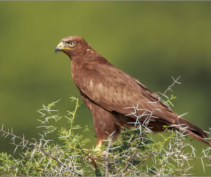 COMMON BUZZARD DARK MORPH