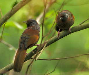 Chestnut-crowned Laughing Thrush