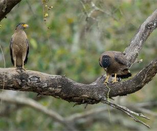 Crested Serpent Eagles