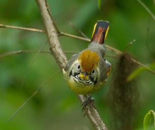 Chestnut-crowned Warbler