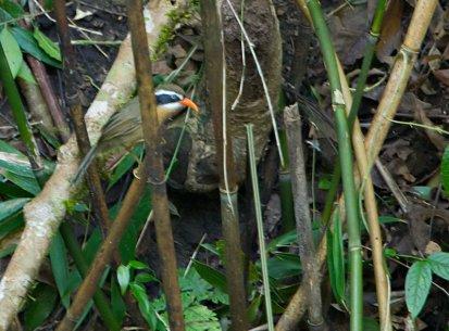 Coral-billed Scimitar Babbler