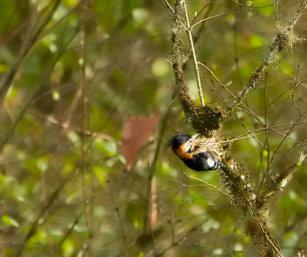 Crimson-breasted Woodpecker