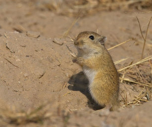 INDIAN DESERT JIRD OR GERBIL