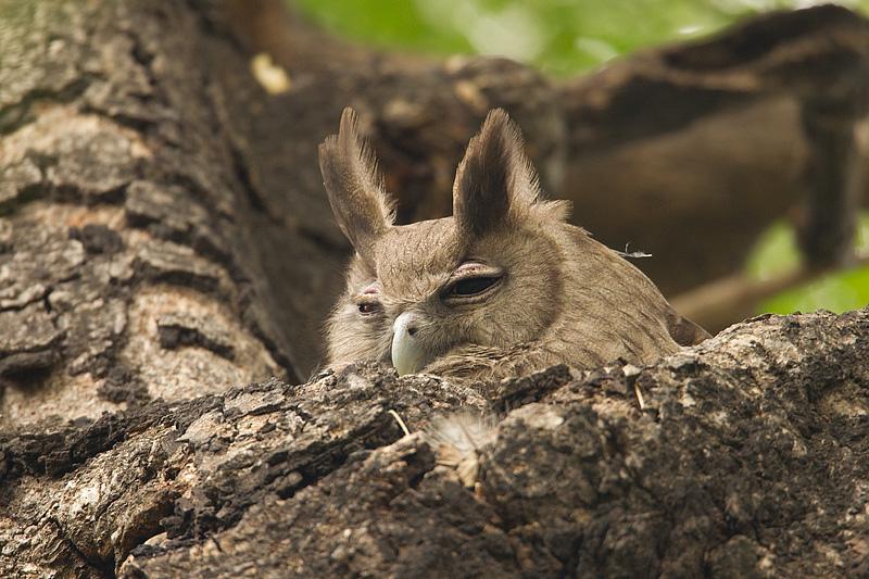 Dusky Horned Owl