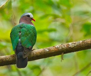 Emerald Dove