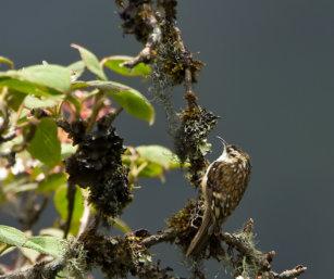 Euarasian Treecreeper