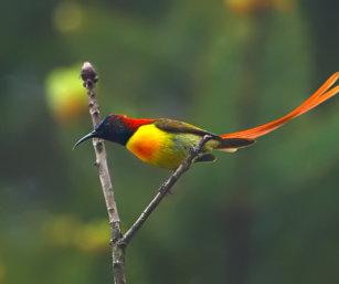 Fire-tailed Sunbird