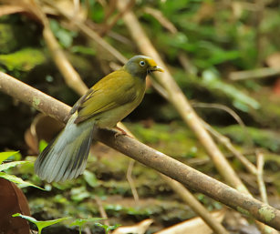 Grey-headed Bulbul