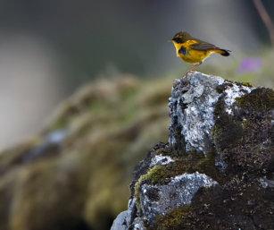 Golden Bush robin
