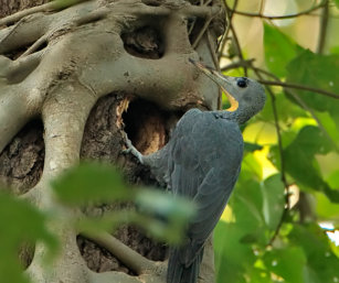 Great-slaty Woodpecker