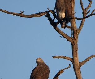 Grey-headed Fish Eagles