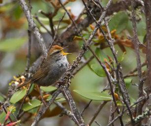 Grey-sided Bush warbler