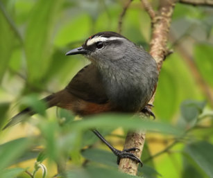 Grey_Breasted LaughingThrush