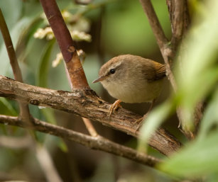 Hume_s-_Yellowish-bellied Bush Warbler