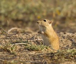 Indian Desert Gerbil