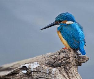 Common Kingfisher