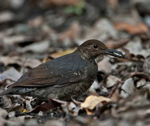 Large-billed Thrush