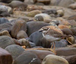 Long-billed Plover